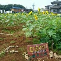 土にふれてみよう★ひまわり種まき大作戦