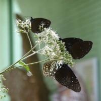 越冬する蝶