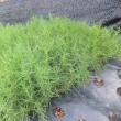 イタリア野菜・アグレッティの苗を定植