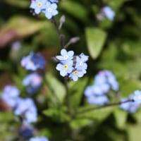 「おはようの花」 勿忘草(わすれなぐさ) 3月