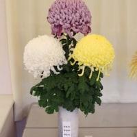 【京都府立植物園】第32回菊花切花展開催のお知らせ(2016年11月3日〜5日)