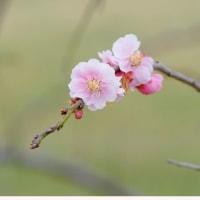 しだれ梅 〈枝垂れ梅〉