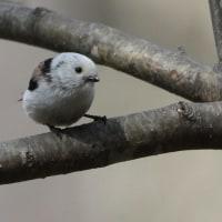 今日の鳥 カワセミ シマエナガ