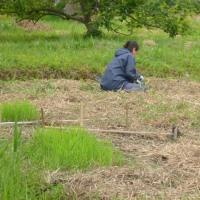 自然農たのしい稲作教室・倉敷 田植え、そして夏草刈一回目 6月