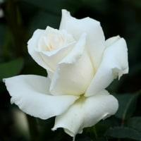 栄誉殿堂入りしたバラ