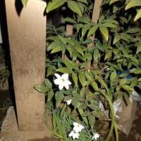 我が家、「花ニラ」 が咲き始めました!