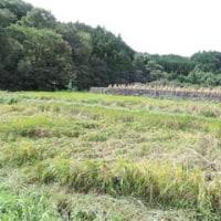 稲の倒伏の原因
