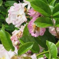 蜂が峯バラ園