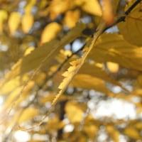 *黄の葉*