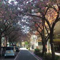 桜通り@関内