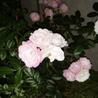 夜中の薔薇