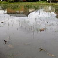家庭菜園が水浸し