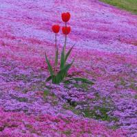 芝桜&チューリップ巡り其の一♪