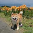 箱館山のユリ