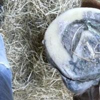 繁殖牝馬のつめ治療
