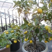 柚子の収穫時期