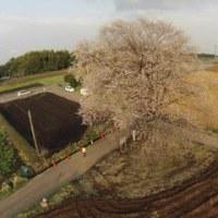 大坪の一本桜の空撮