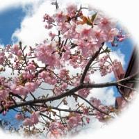 これも河津桜?・・・鮭のムニエル、法蓮草ソース。