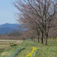 ヒヨちゃんの桜~安行寒桜の並木道~