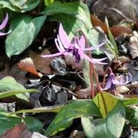 """群馬県高崎市吉井町の""""小串カタクリの里""""では、カタクリの花が咲き始めました"""