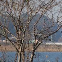 手賀沼 渡りのカモたち カモ特集38 ミコアイサ(巫女秋沙) ~手賀沼~