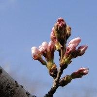 散歩道の桜も開花