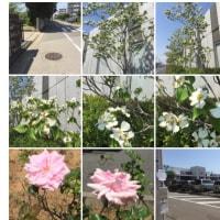 散歩を兼ねてミハマニューボートまで歩きました。2.1kmありました。歩いている途中でハナミズキやバラの花が咲いていました。