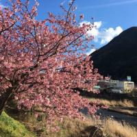 河津桜は見頃です!