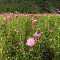 爽秋の朝比奈 龍勢の日