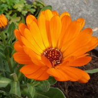 オレンジ色のキンセンカ
