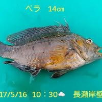 笑転爺の釣行記 5月16日☁ 長瀬・久里浜