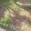 東京池袋方面、昨日夕方の嵐・雹(ひょう)の影響恐るべし!・・・ギンナンが半分くらい落ちちゃいました(-_-;)