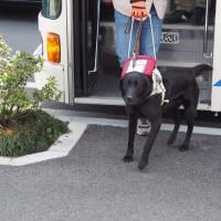 盲導犬Walk
