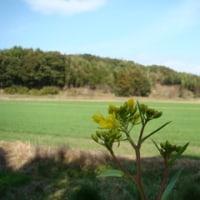 糸島の土筆とツワブキ