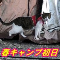猫連れ花見キャンプ🌸初日🎪【キャンプ猫こむぎ&だいず】2017.04.15