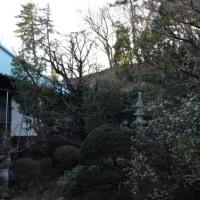 桜と木斛の土壌改良