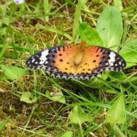 オレガノと蝶
