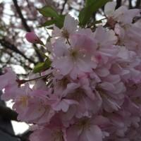 桜雨・・・