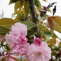 銘菓『ゆずっ子』と花ざかりの庭