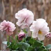 冬枯れの庭にお花を