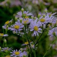 弘仁寺の紫苑