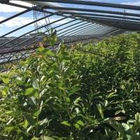 春がやってきた有機グァバ農園の様子