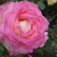 色とりどりの薔薇、ばら、バラ・フェアで楽しむ