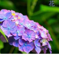 環境ボランティアグループ、まちづくり環境保全会の花の郷に綺麗なプチひまわりと紫陽花が咲いてます。