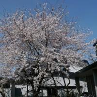 17年目の桜