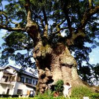 佐里コスモス園に行ったらショックついでに樹齢3000年の川古の大楠⇒武雄図書館でスイーツタイム