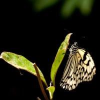 オオゴマダラ蝶。。。!