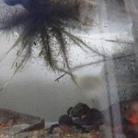 イモリ水槽(現在6匹)