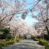 長瀞の桜、満開に♪