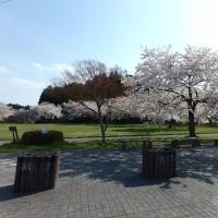 化女沼の桜
